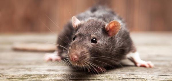 rat control - pest control services vancouver