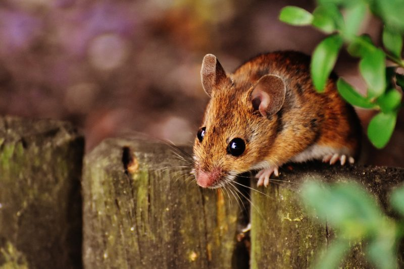 mouse infestation pest control dos and donts