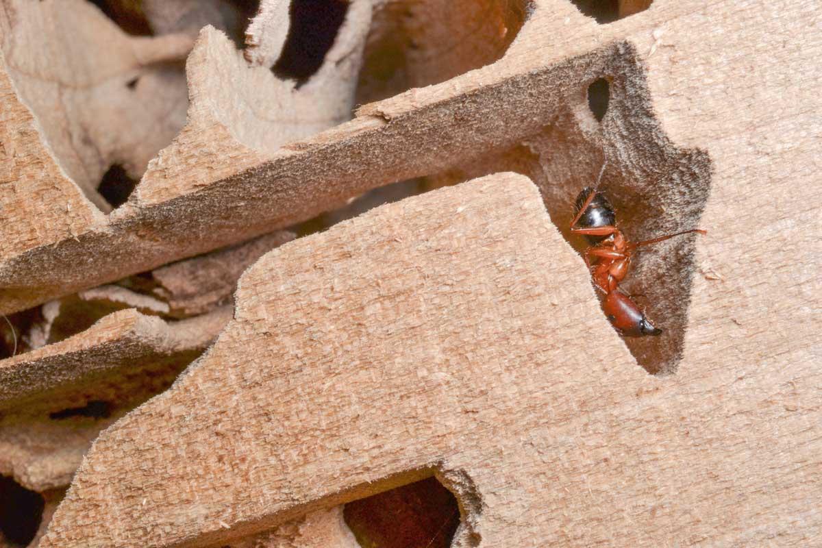 carpenter ant control vancouver