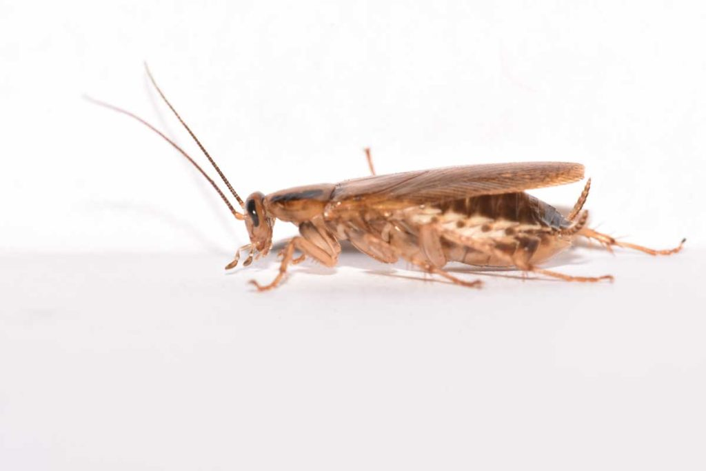 winter pest control vancouver - cockroach
