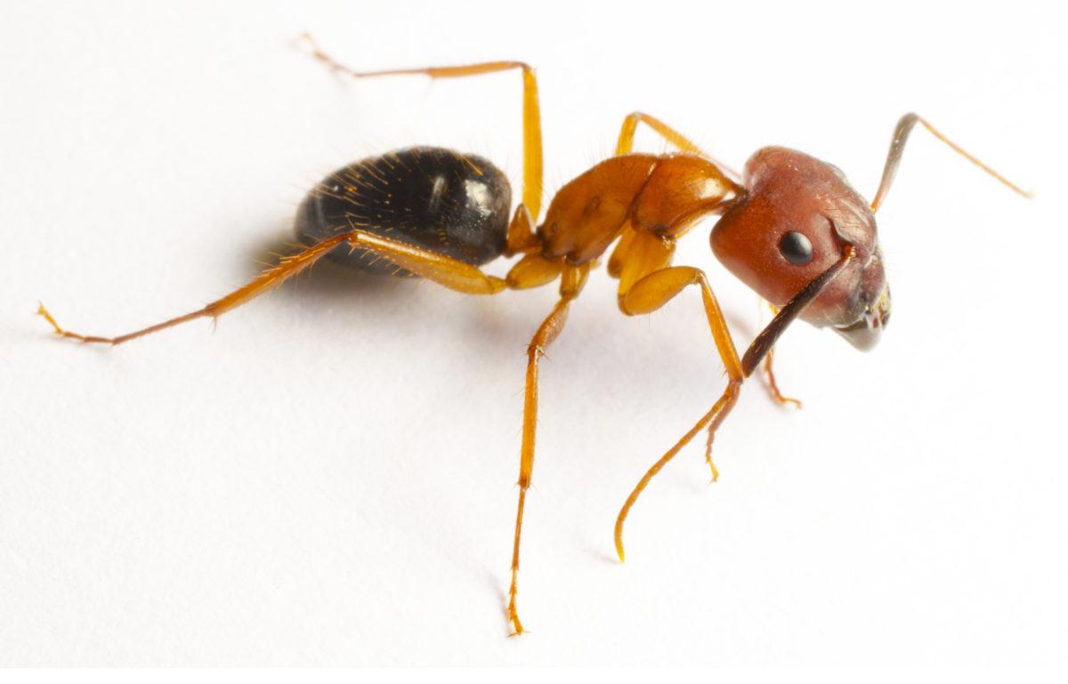 Carpenter Ants prevention - Assured Environmental